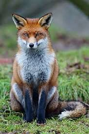 Renard en voie de disparition ! 😓😱😱😱